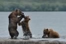 Медведи Камчатки