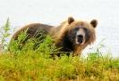 Медведи Камчатки _10