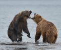 Медведи Камчатки_2