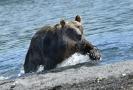 Медведи Камчатки _3