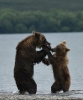 Медведи Камчатки_4