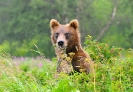 Медведи Камчатки _5