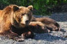 Медведи Камчатки_6