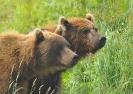 Медведи Камчатки_7