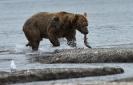 Медведи Камчатки_8