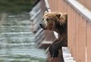 Медведи Камчатки_9